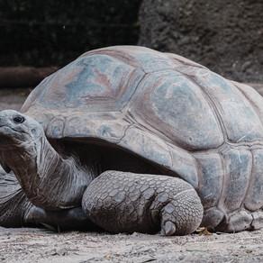 Παρακολουθώντας θαλάσσιες χελώνες να γεννούν στις ακτές της Καραϊβικής
