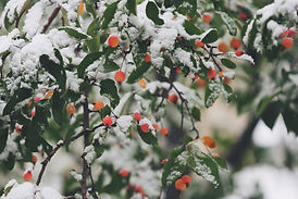 Photos of berries in the snow