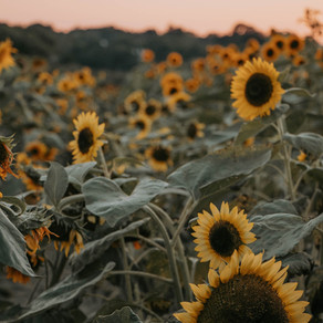 sunflowers bloom at night