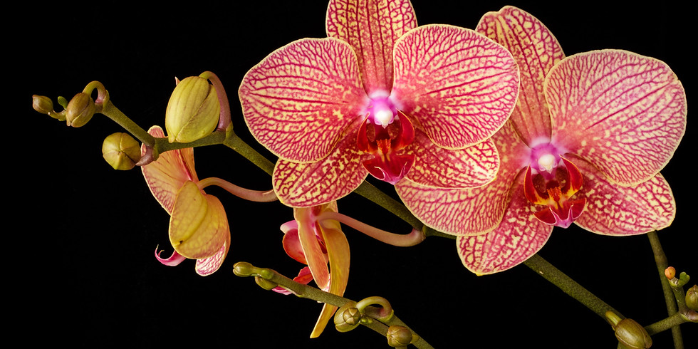 May meeting - Phal species for home