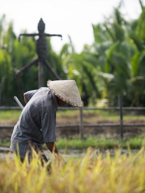 Virgin land's rice grains