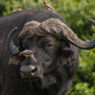 Cape Buffalo Bull on Greater Kuduland