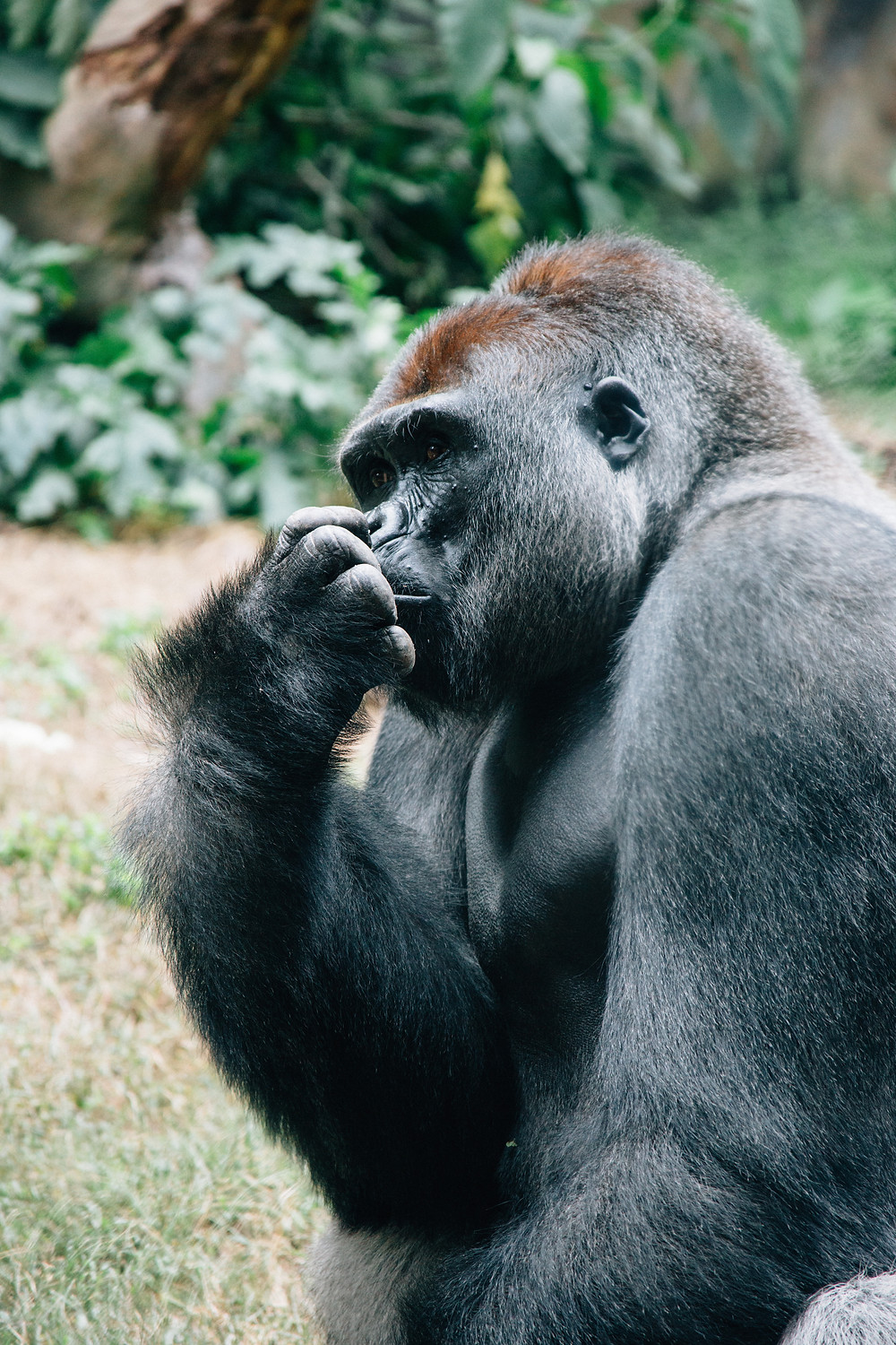 A gorilla doing some deep thinking in the jungles of Rwanda