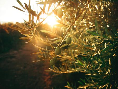 God's Olive Trees