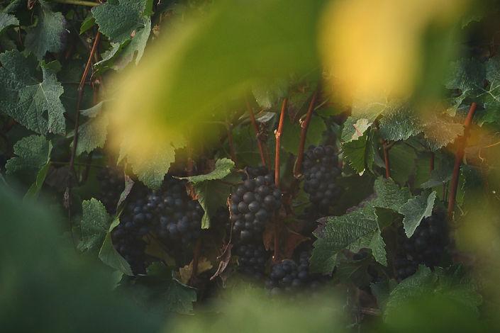 Image of grapes in a vineyard by Marianne Gamet