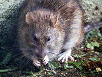 Tips & Tricks: Rodents