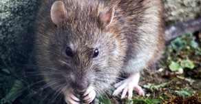 The Diary of a New York Rat