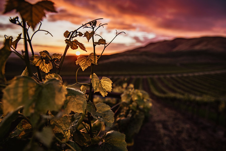 Sunset in a vineyard. Image by Tim Mossholder