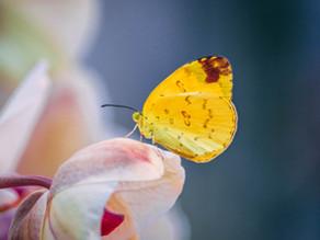 De l'importance de la chrysalide pour le papillon