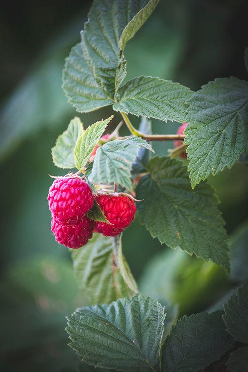 10 Red Raspberry Plants