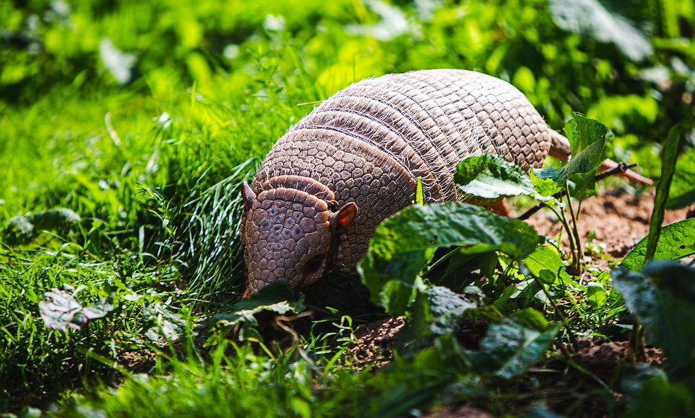 Armadillos Can Add It Up!