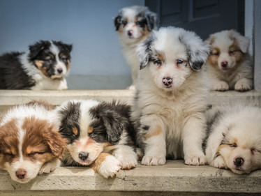 Puppies and the Pandemic