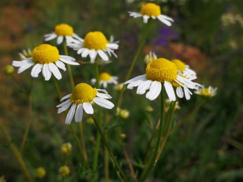 Herb Spotlight: Chamomile