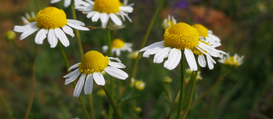 How to Grow Chamomile from Seed!