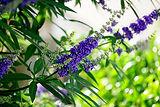 Chaste Tree Berries - Vitex Agnus Castus