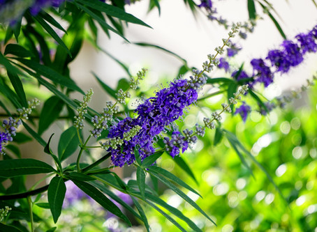 Vitex Chaste Tree - Uses and Side Effects