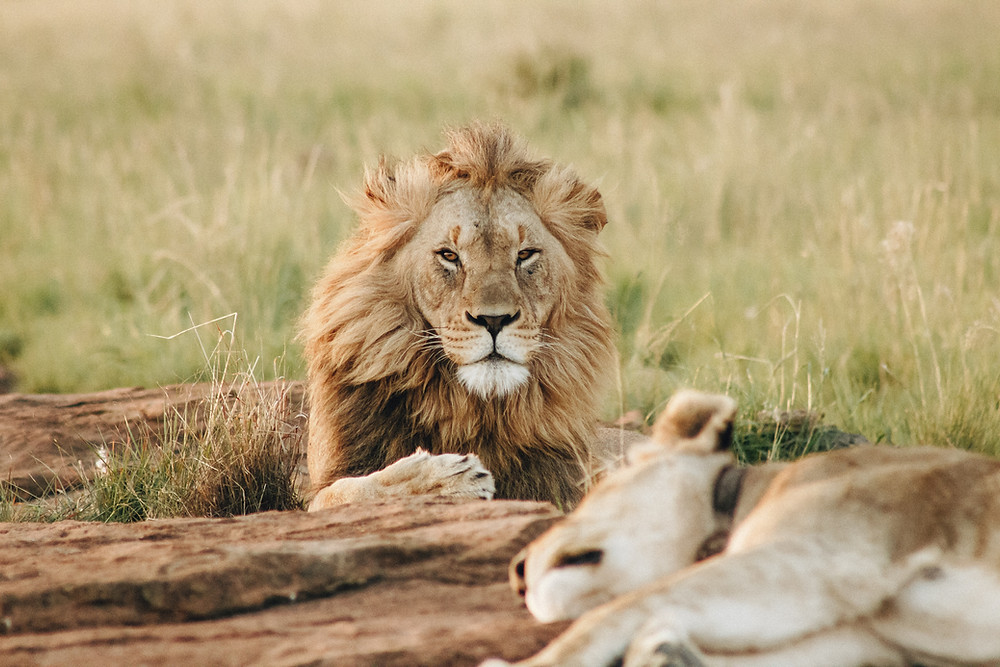 A lion and lioness laying on the ground