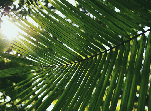 Blessed Palms Available
