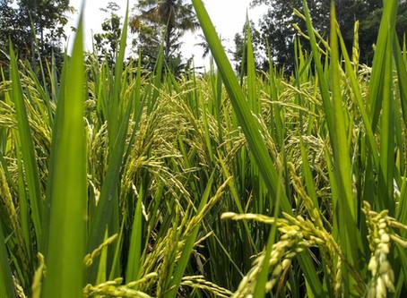Previsão do tempo para regiões arrozeiras