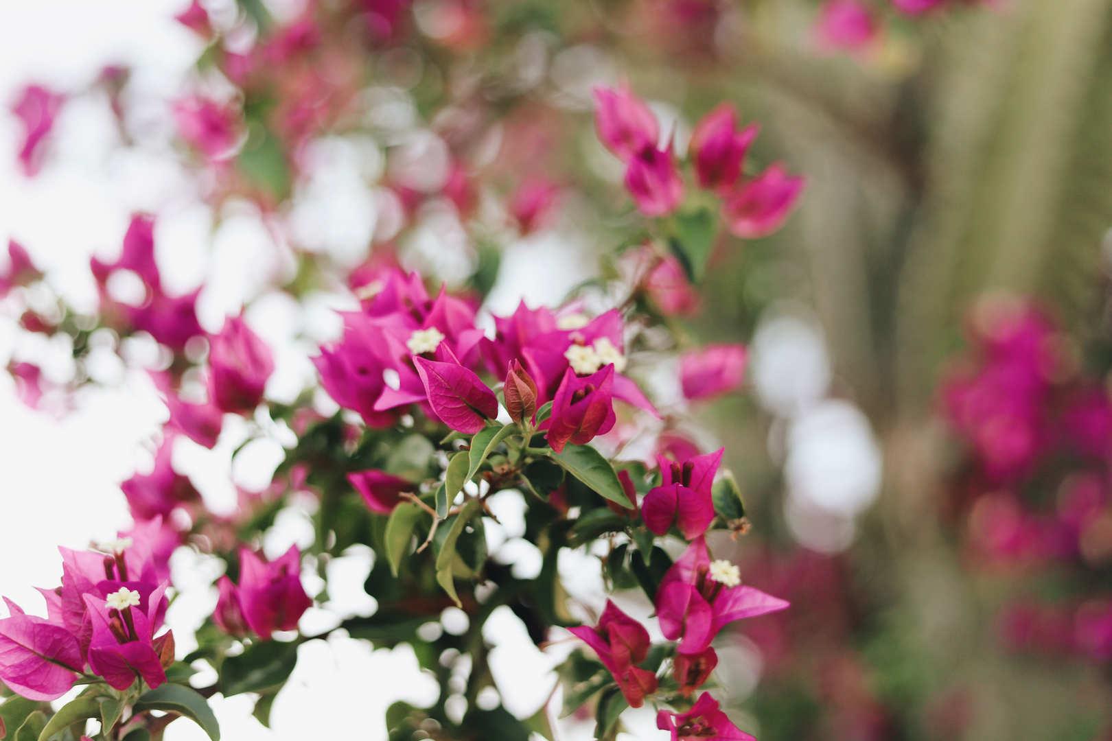 Colorful bougainvilleas