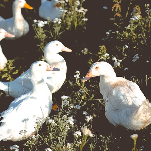 Whole Duck ($12/ lb.)