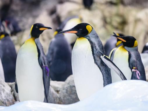 Curiosidades sobre los pingüinos