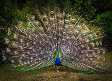 טווס - מה המשמעות והסמליות של הציפורים בחיינו?