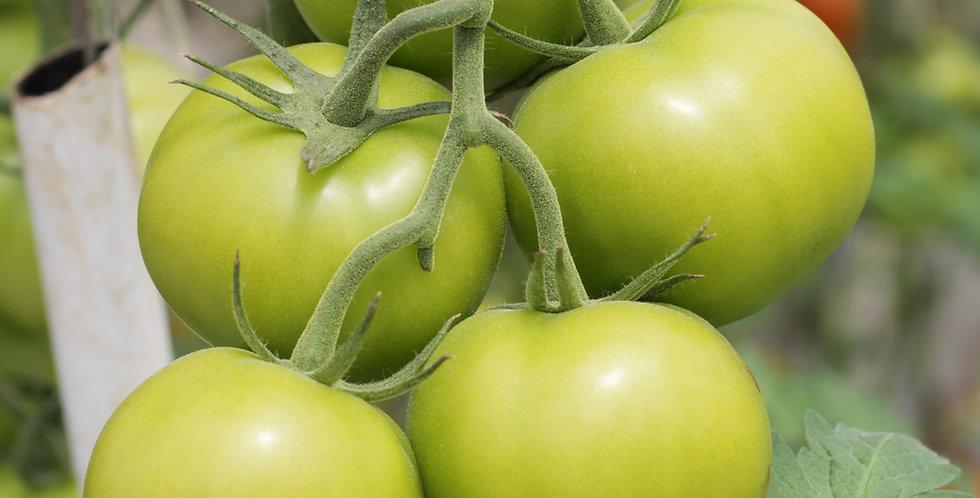 Tomato Sapling