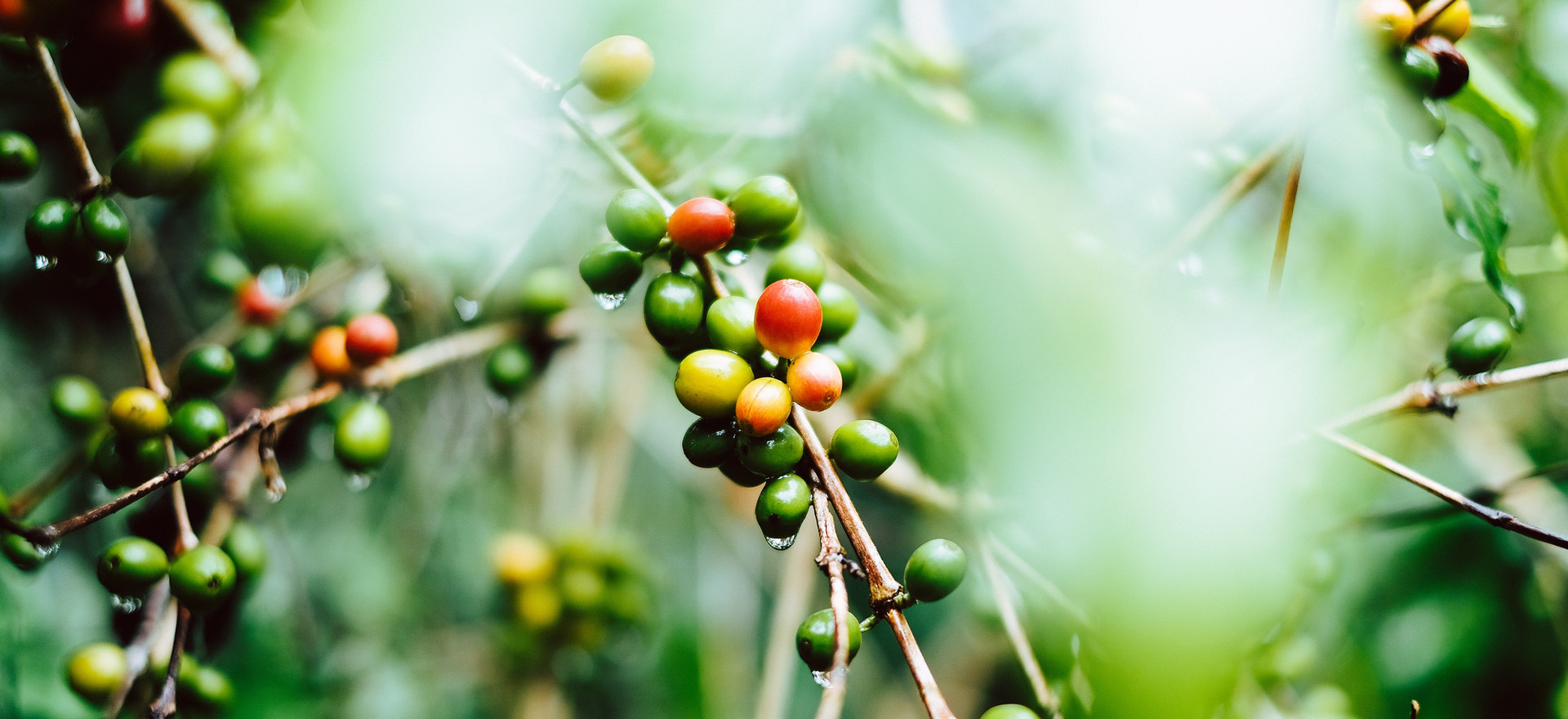 Brazilian Green Coffee Beans