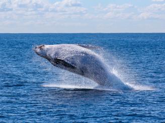 Bálnák és delfinek: miért ugranak ki a vízből?