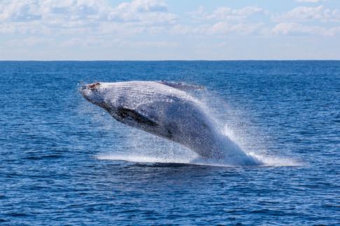 Baleine à bosse, photo de Georg Wolf