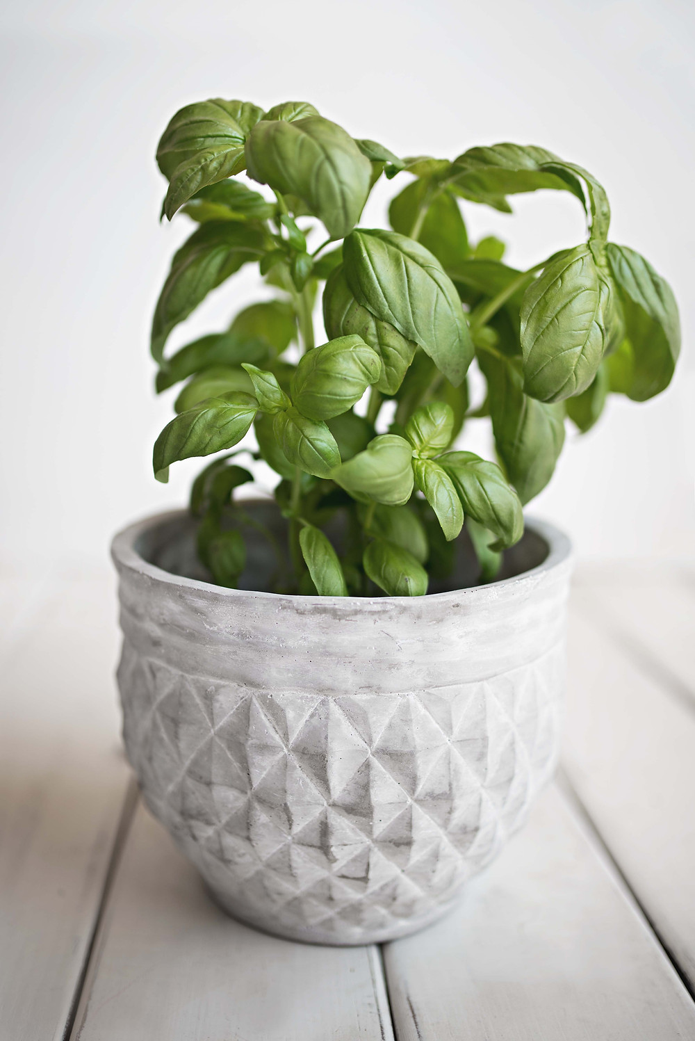 picture of basil in a white container