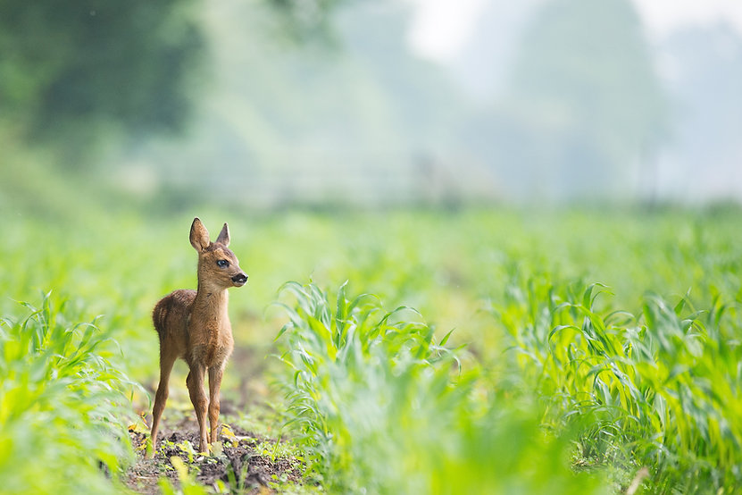 Baby deer - Image by Vincent van Zalinge