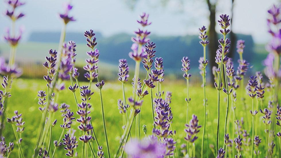 Lavendelöl bio & naturrein  10ml