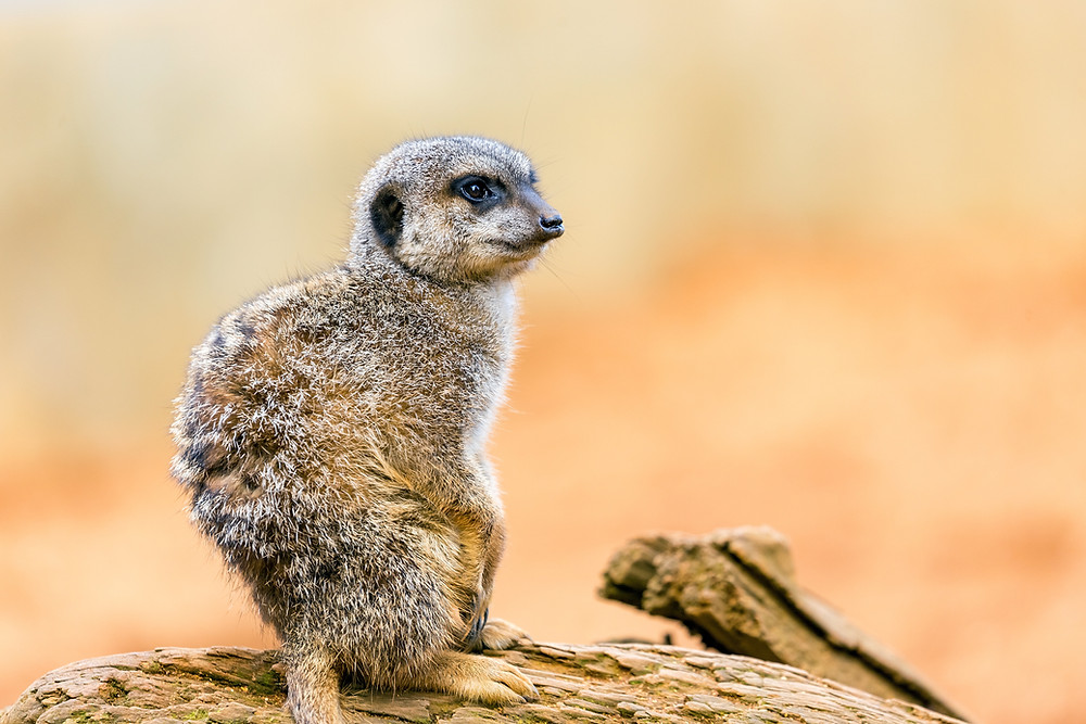 A meerkat sitting on a rock.