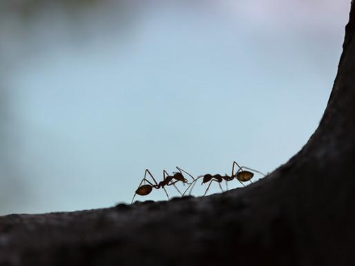 Požeminiai skruzdžių daržai