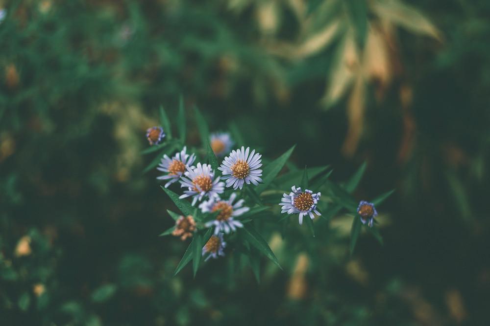 Daisy flowers - Mary Oliver - www.AlwaysChoose.com