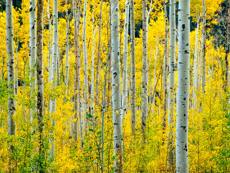 The Beloved Birch Bark Trees