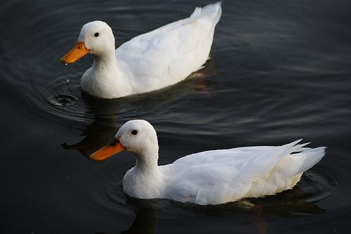 Duck - Rough Plucked