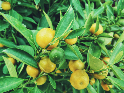 The Parable of the Proud Little Lemon Tree