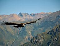 Condor Gliding