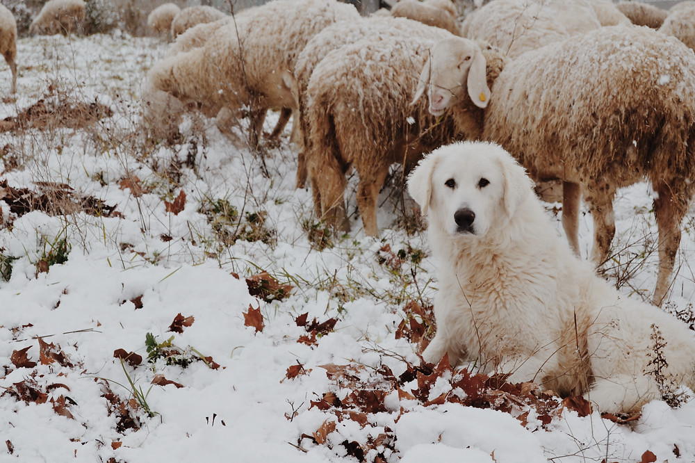 These dogs live outside with their flocks, and have thick double coats for warmth and protection in the cold.
