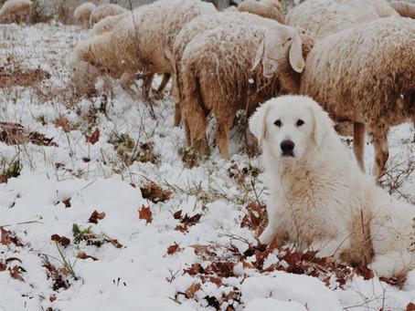 Cani da guardiania. Una difesa attiva.