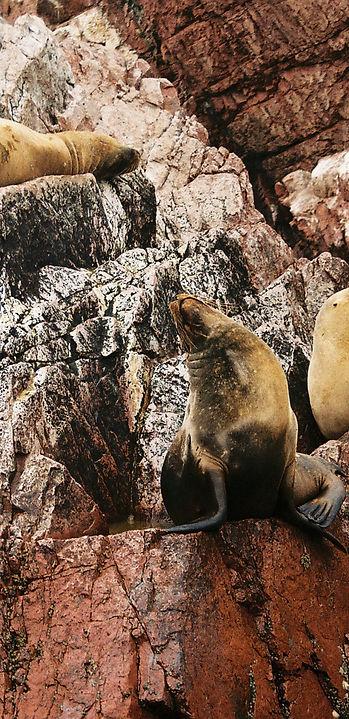 Peruresponsabile Lobos Marino alle isole Ballestas