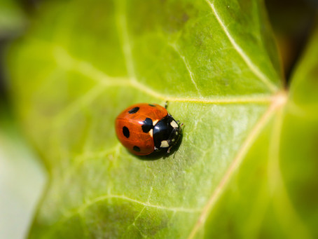 Ladybugs: More Than Just a Pretty Face