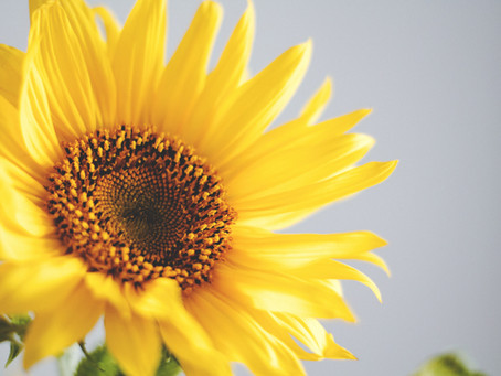 How We Grew a 10-Foot Sunflower