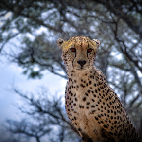 Should the African Cheetah be Reintroduced in India?