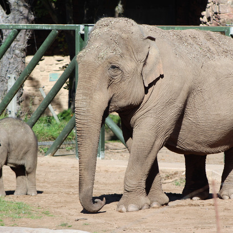 Elephant breeding