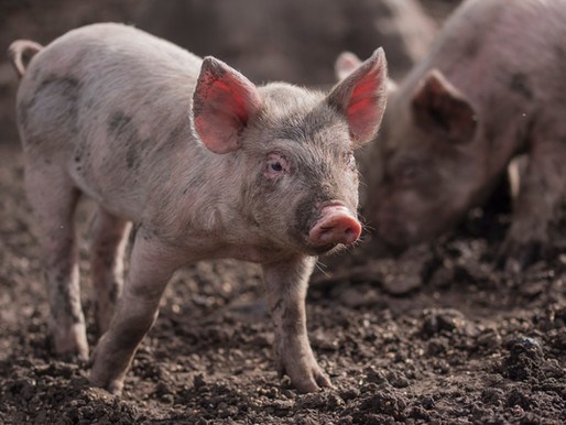 돼지우리 몰래카메라 스캔들