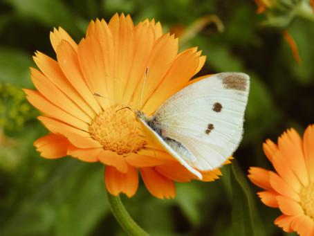 Calendula: Il fiore del sole